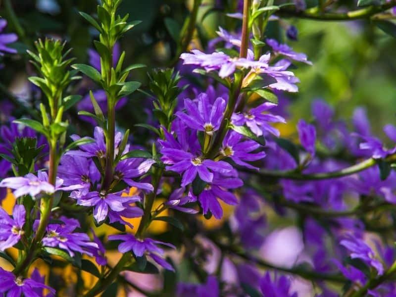 Scaevola flowers