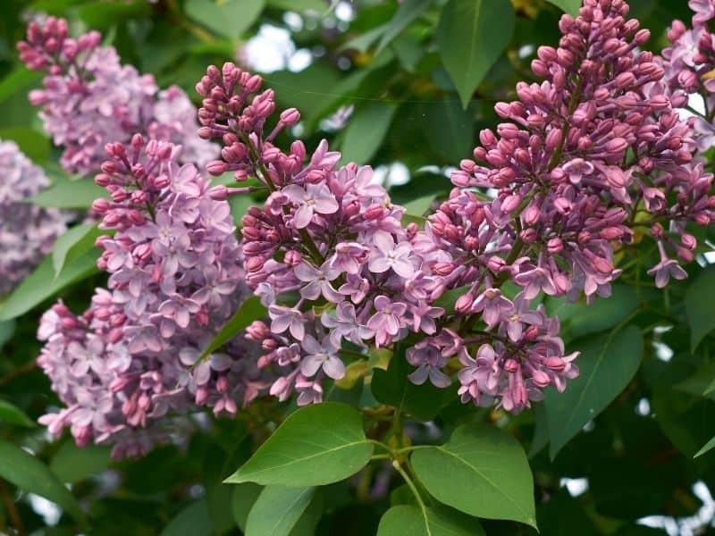 Syringa vulgaris - lilac flowers
