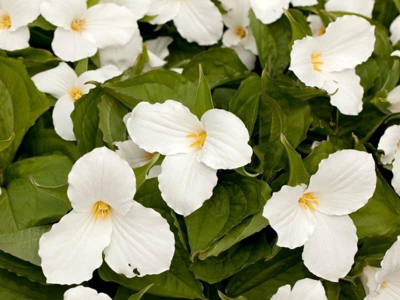 Wake-robin flowers