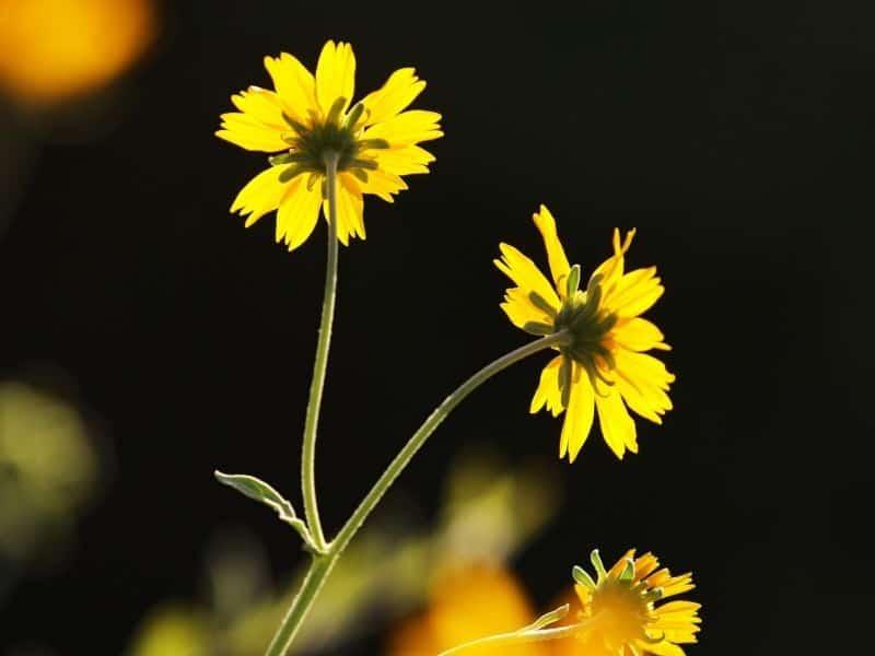 Xanthisma flowers