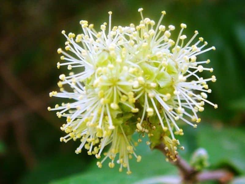 Xylosma flower