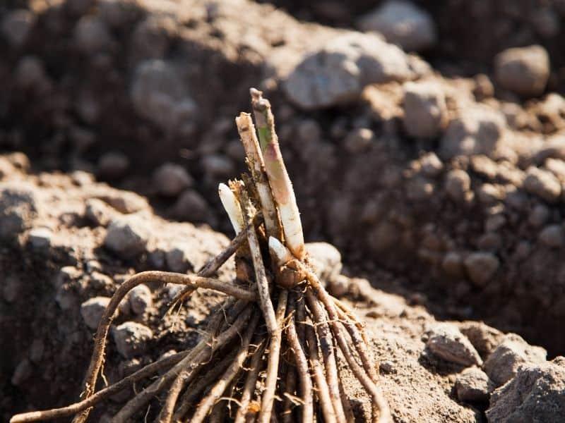 planting asparagus crown