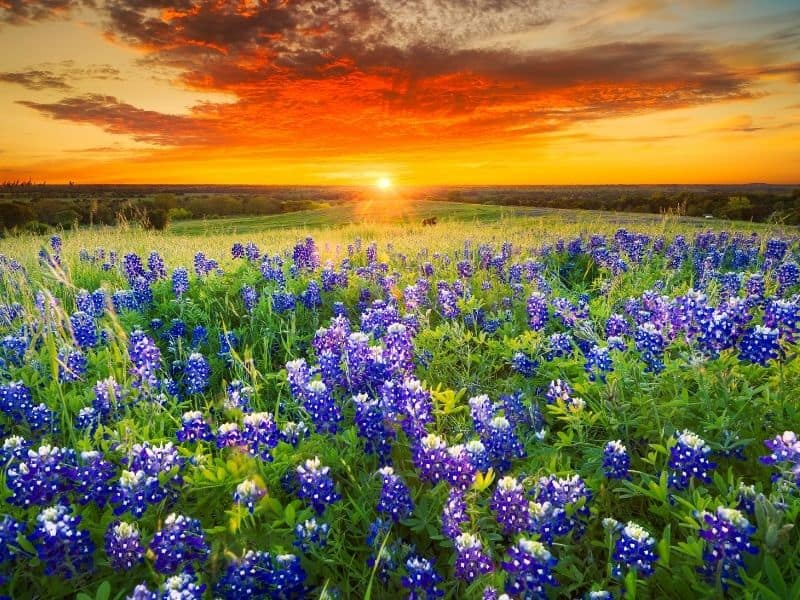 a field of bluebonnet flowers