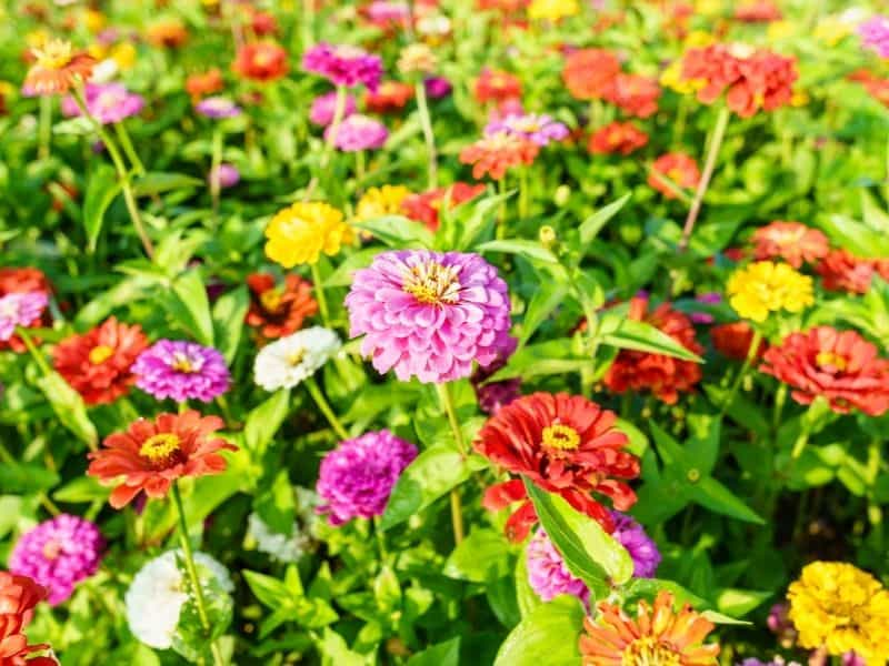 bright colored zinnia flowers