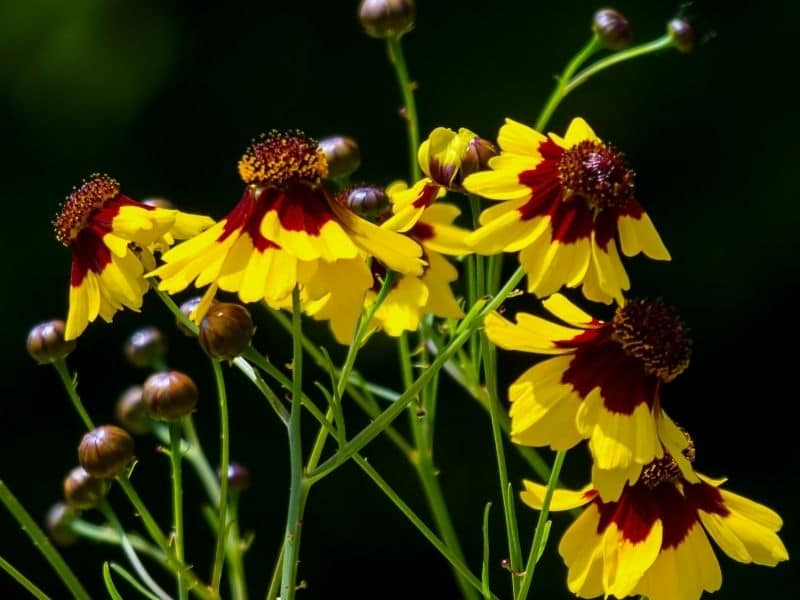 bright yellow coreopsis flowers