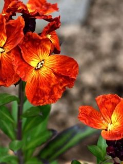 bright orange wallflowers