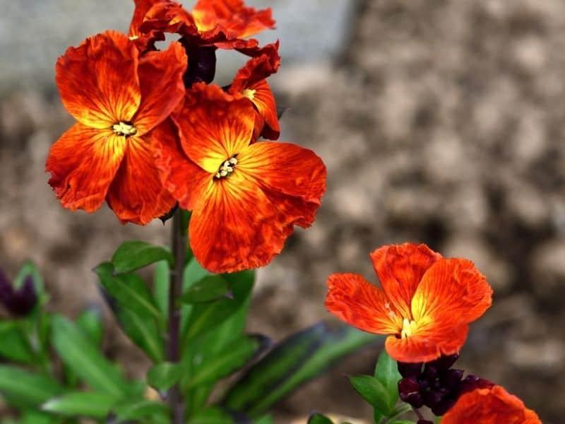 bright orange wallflowers