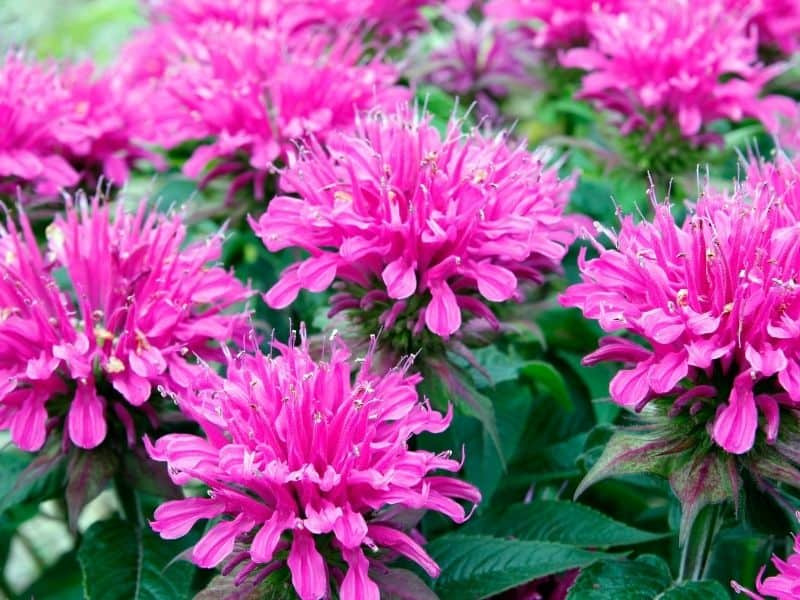 bright pink bee balm flowers