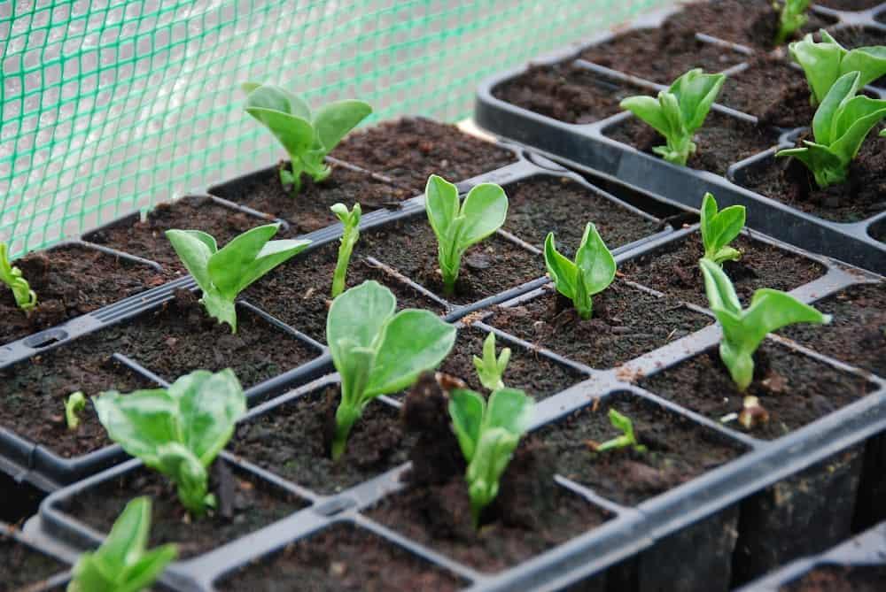 broad beans seedlings