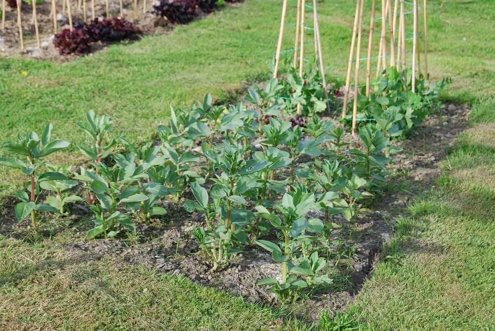 broad beans growing in my garden