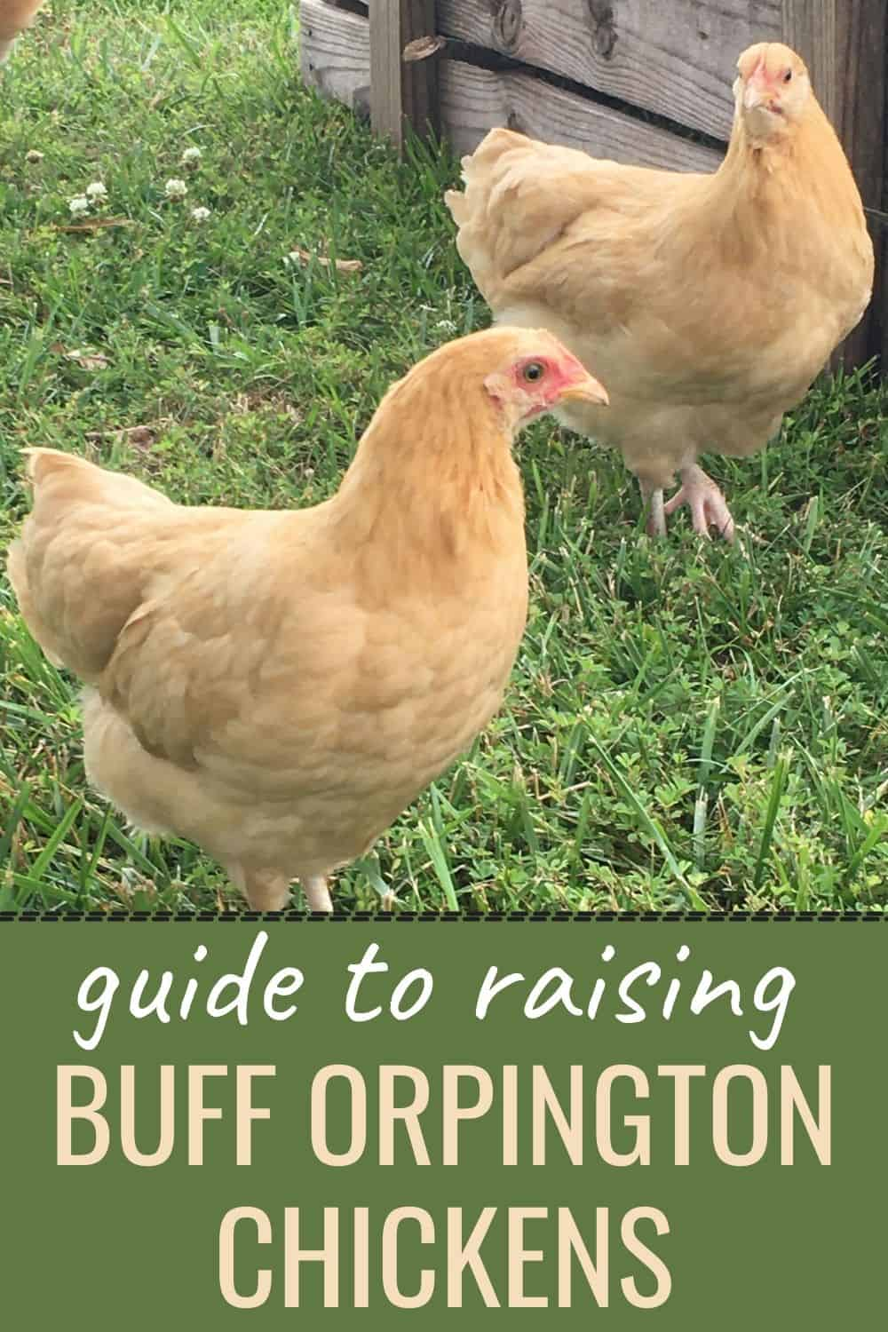 Guide to raising buff orpington chickens
