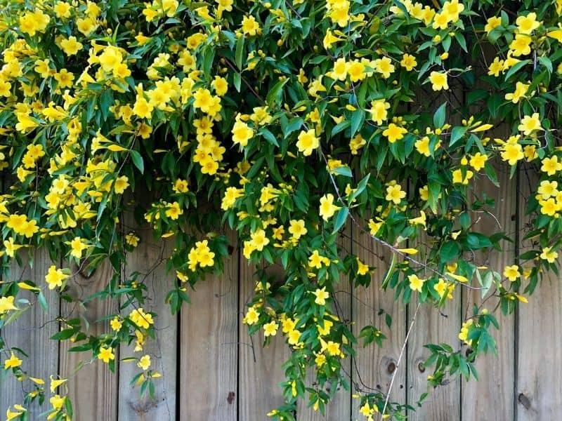 Carolina jessamine flowersdraped over a wooden fence