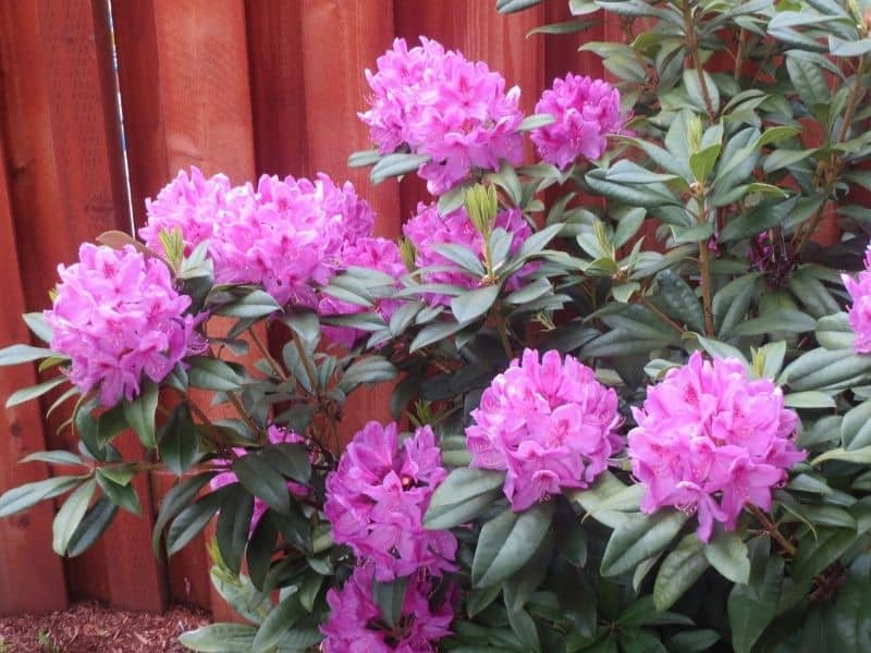 coast rhododendron