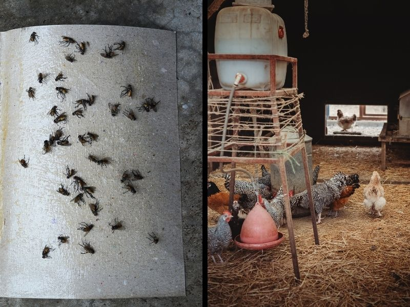 fly trap and chicken coop