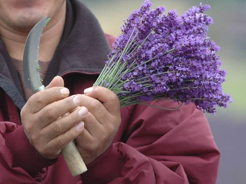 a bundle of freshly cut lavender