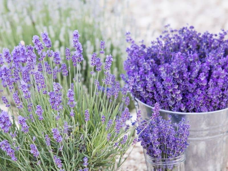 lavender that bloomed all the way