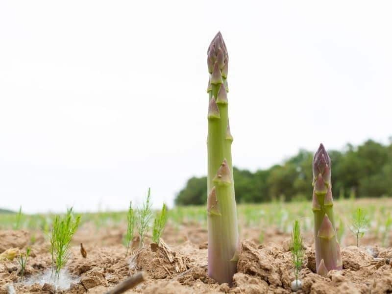 thick asparagus growing in the garden
