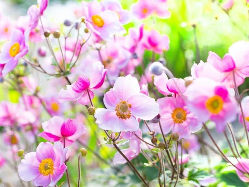 Japanese anemone flowers