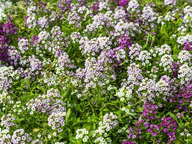 sweet alyssum in shades of lavender and purple