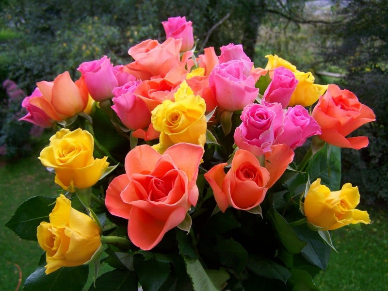 warm colored roses