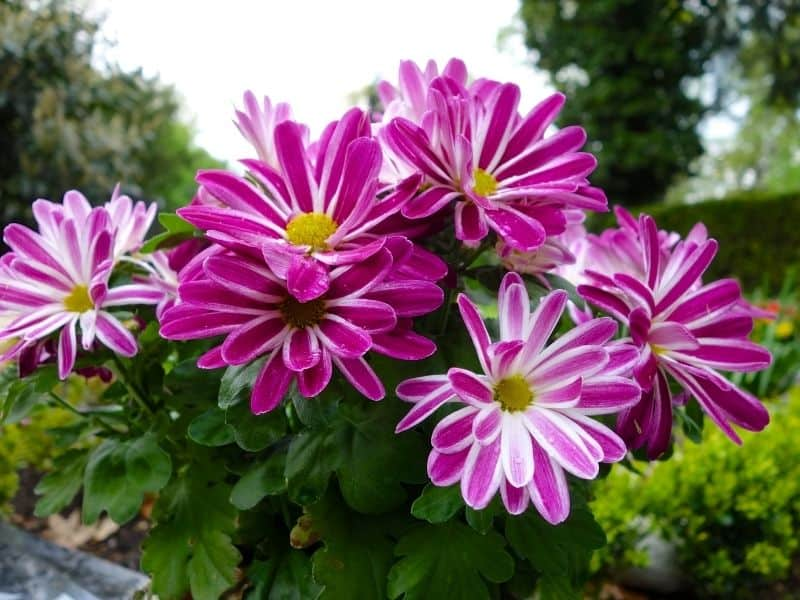 pink variegated chrysanthemum