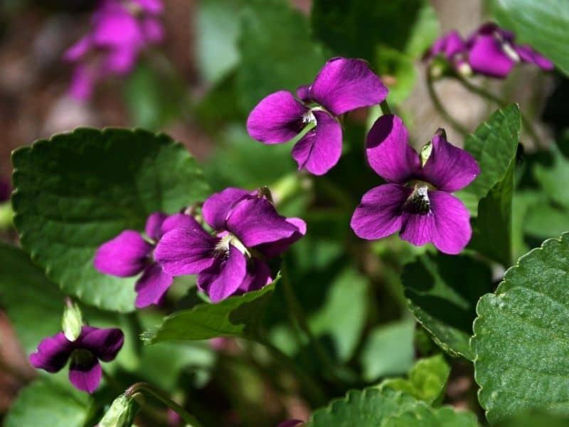 pink wood violet