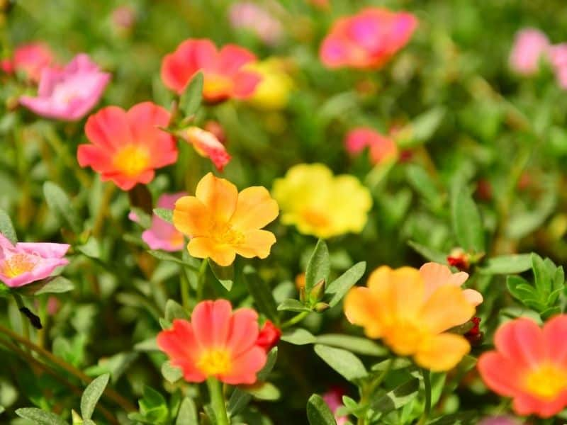 portulaca flowers in warm colors of yellow, orange, and red