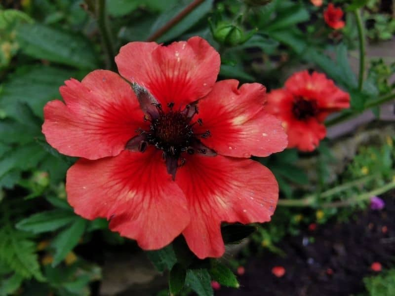 deep red potentilla flowers