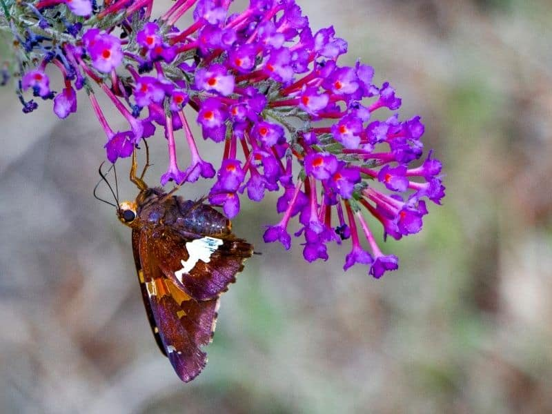a butterfly enjoying a purple butterfly bush