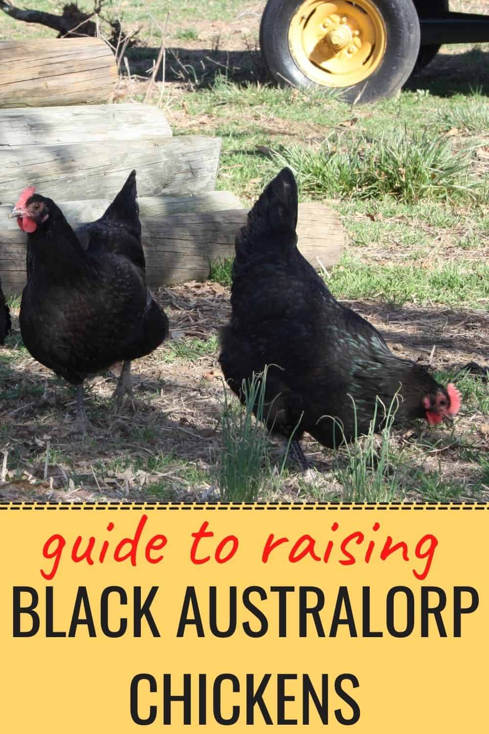 Guide to raising black Australorp chickens