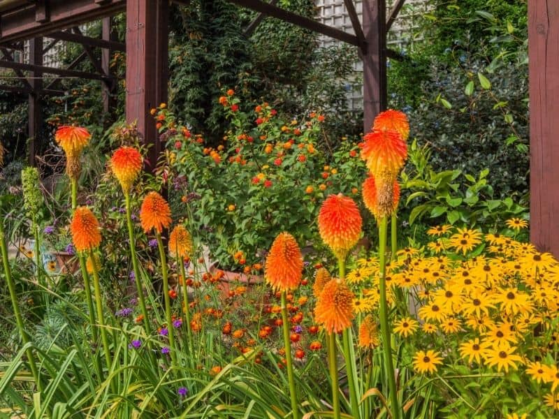 red hot pokers in the garden with black eyed Susans