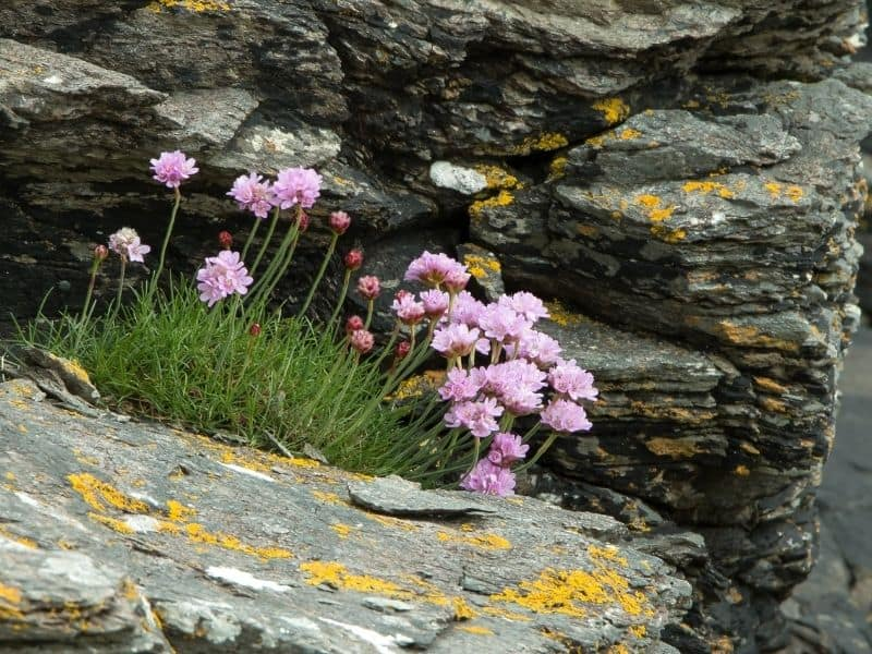 sea thrift flowers