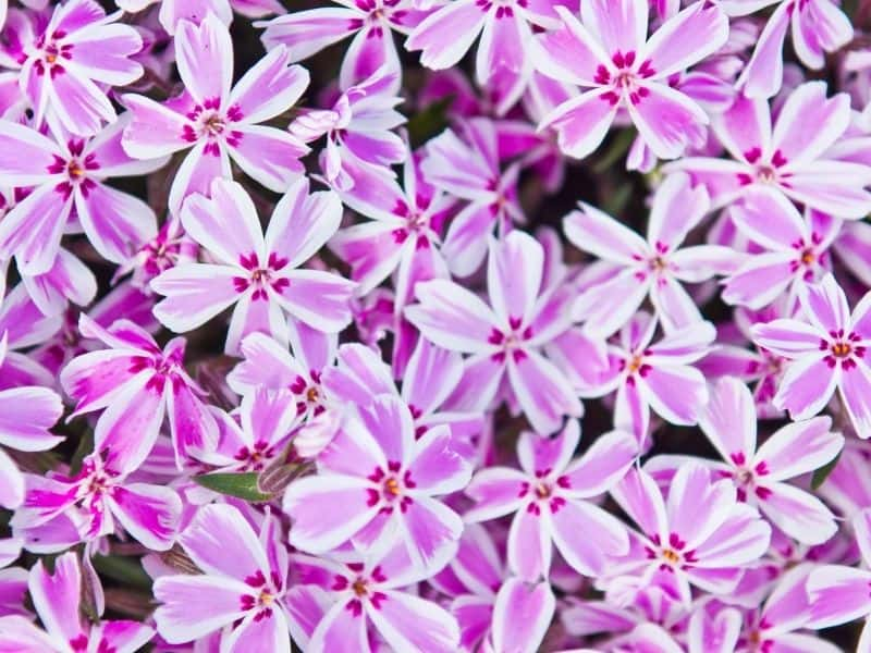 variegated (pink and white) creeping phlox