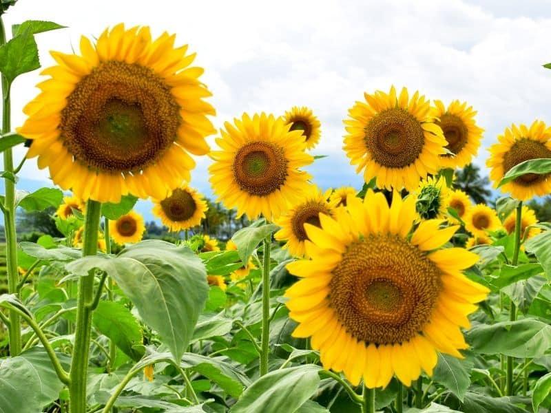wild native sunflower