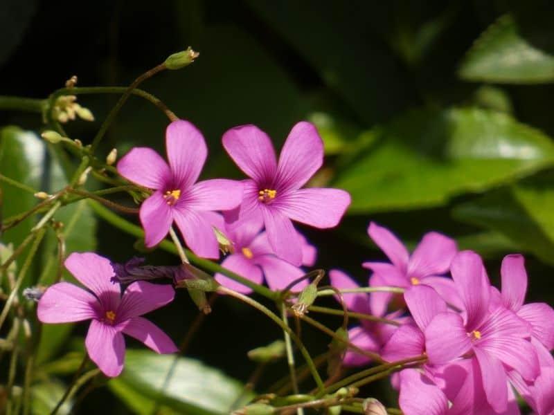 pink wood sorrel flowers