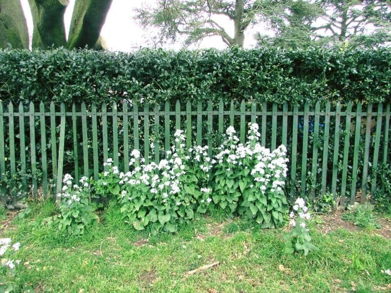 wooden and greenery fence