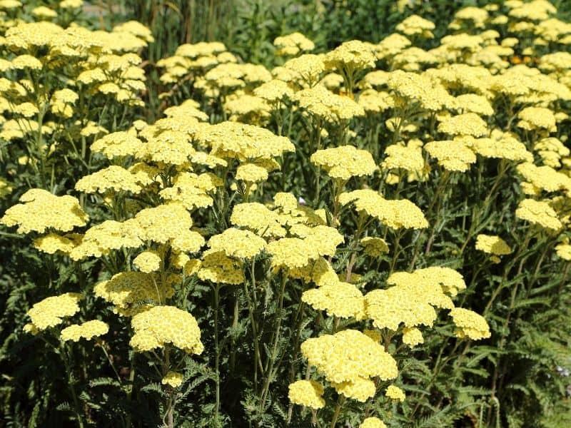 a field of yellow yarrow flowers