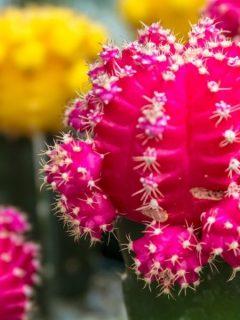blooming barrel cactus