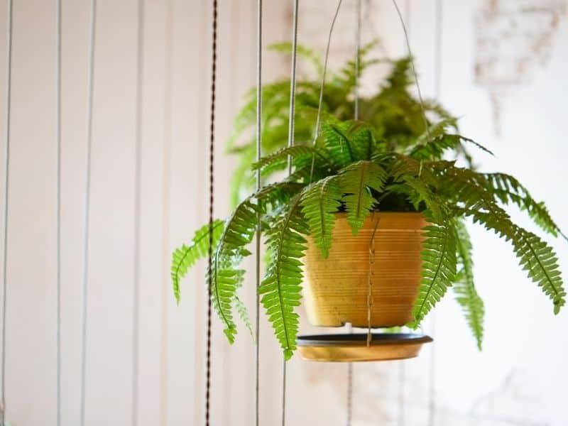 Boston fern in hanging basket