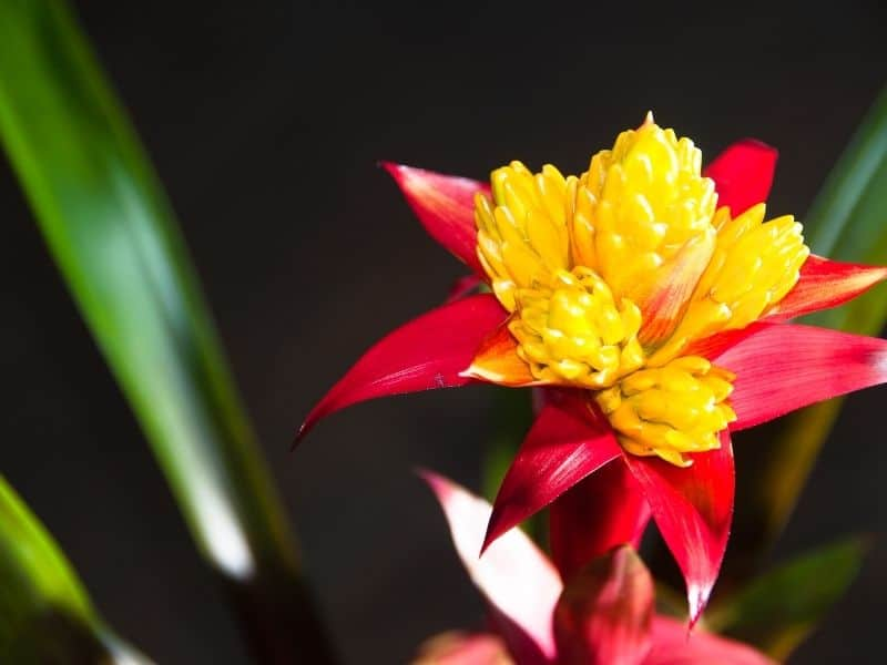 beautiful red and yellow bromeliad