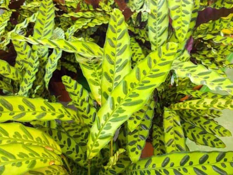 calathea plants