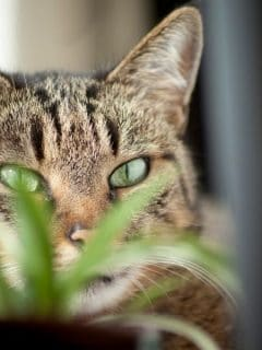 Cat peeking from behind a houseplant
