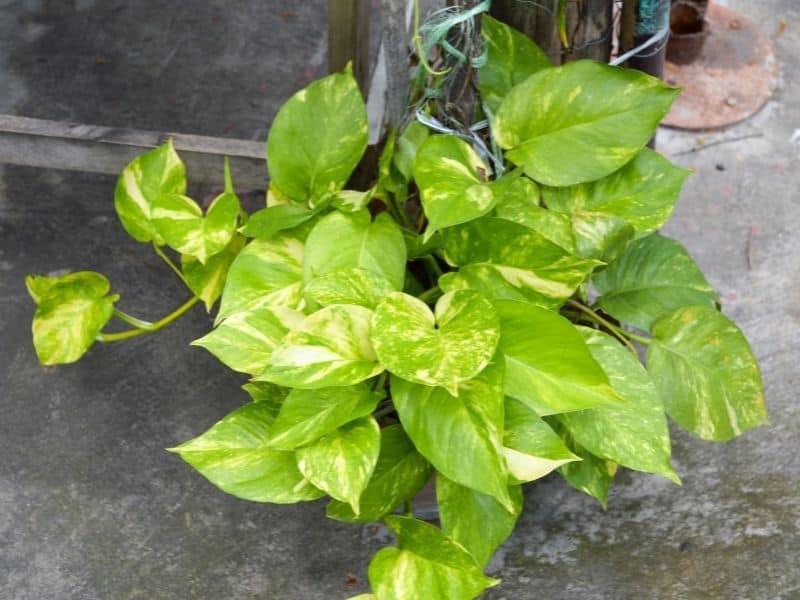 devil's ivy