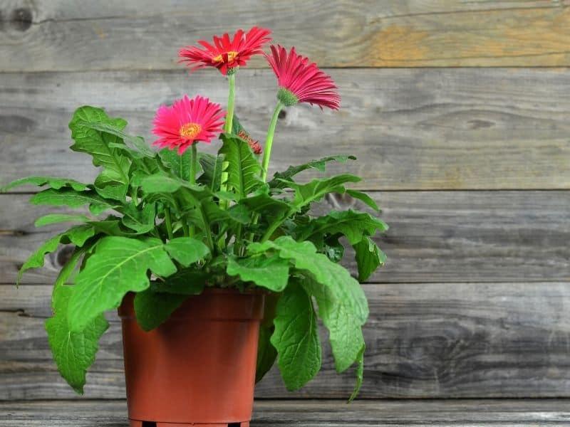 potted gerbera daisies