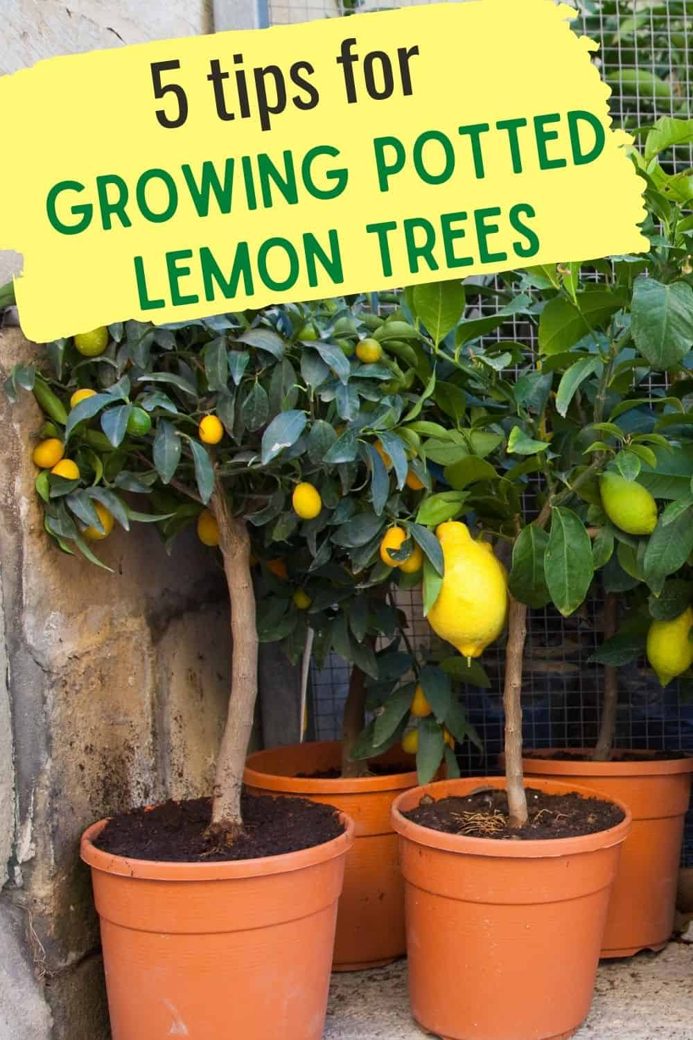 5 tips for growing potted lemon trees on Plant a Lemon Tree Day