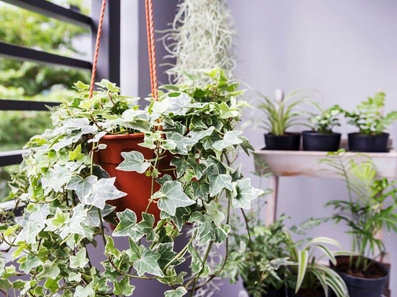 hanging basket of english ivy
