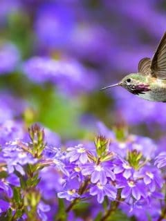 Hummer flying by purple flowers