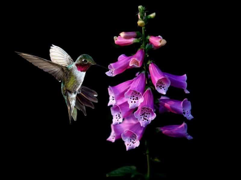 hummingbird feeding on foxglove flowers