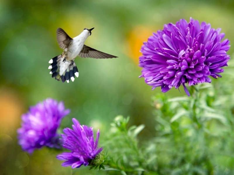 hummingbird visiting a purple monarda flower
