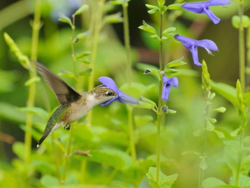 hummingbird feeding on sage flowers